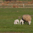 Mother sheep with two lambs in a meadow — ストック写真