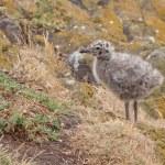 Lesser black-backed gull chick — Stock Photo #11976472