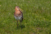 Black tailed Godwit Close-up — Foto Stock
