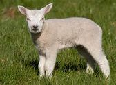 Kleines lamm in einem feld — Stockfoto