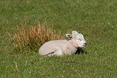 Little lamb sleeping in a meadow — Stock Photo