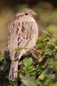 House sparrow in a bush — Stock Photo