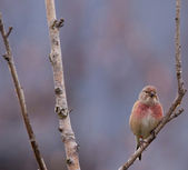 Male linnet in a tree — Stock Photo