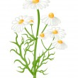Camomile flowers. Vector-Illustration — Stock Vector