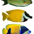 Stockfoto: Three Tropical Fishes isolated on white