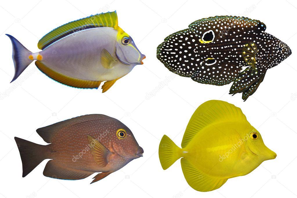 Cuatro peces tropicales aislados sobre fondo blanco foto for Peces tropicales