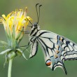 Papilio machaon — Stock Photo #11960855