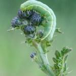 Green caterpillar — Stock Photo #11962906