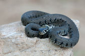 Young grass snake — Foto Stock