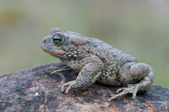 Bufo calamita — Stock Photo