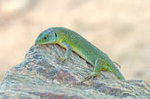 ящерица bilineata — Стоковое фото