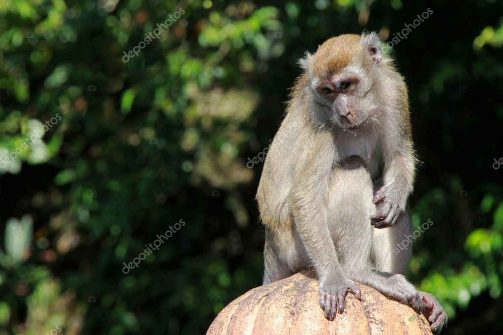 Monkey posing alone in the middle of a green forest — Stockfoto #11818091