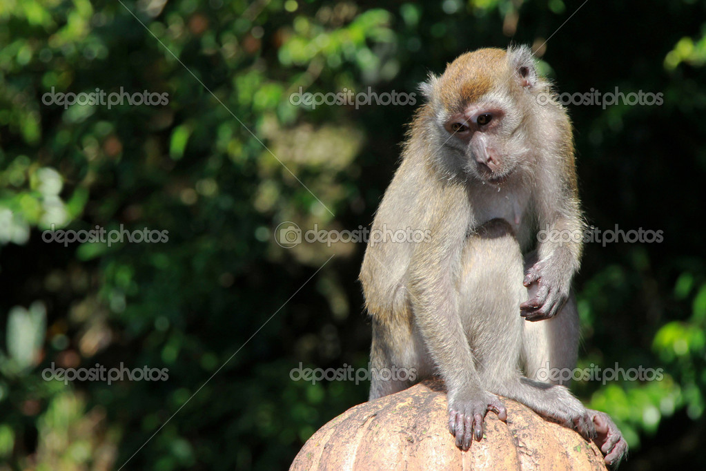 Monkey posing alone in the middle of a green forest — Stok fotoğraf #11818091