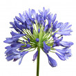 Stock Photo: Agapanthus