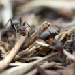 Stock Photo: Ants in forest