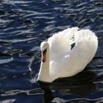 Swan — Stock Photo #11888208