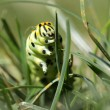 Swallowtail Caterpillar - Stockfoto