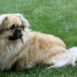 Pekinese — Stock Photo #11889342