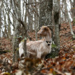 A domestic goat alone in the forest — 图库照片