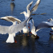 Gulls on ice - Stock Photo