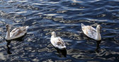 Little swan with parents swimming at the water — Stock Photo