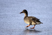 Duck on a frozen lake — Stock Photo