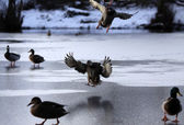 Ducks on a frozen lake — Stock Photo