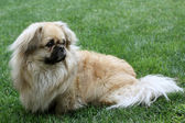 A Pekinese — Stock Photo