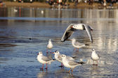 Little gull on ice — 图库照片