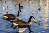 Birds on lake — Stock Photo