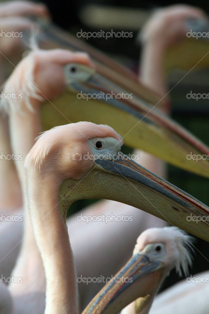 Pelicans  — Stock Photo #11888423