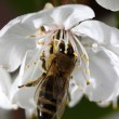 Bee on a cherry blooming flower  — Stock Photo