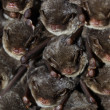 Colocolony of bats — Stock Photo #11891414
