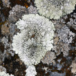 Lichen on dark rock — Stock Photo