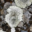 Lichen on dark rock — Stock Photo #11891597
