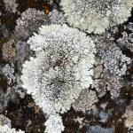 Lichen on dark rock — Stock Photo #11891597