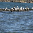 Some seagulls on stony sea coast - Stock Photo