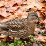 Ducks — Stock Photo