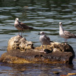 Seagulls sitting on a rock - Stok fotoğraf