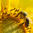 Bee on sunflower. Close-up view — Stock Photo #11893119