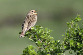 Song sparrow on shrub branch with beak open singing a song in the evening sunlight — Stock Photo
