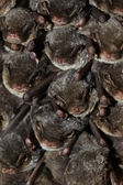 A colocolony of bats — Stock Photo