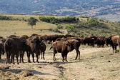 Buffalo — Stok fotoğraf
