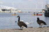 Swans and wild geese — Zdjęcie stockowe