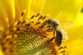 Bee on sunflower. Close-up view — Stock Photo