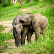 Two baby elephants playing in grassland field. — Stock Photo