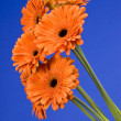 Orange Gerbera Daisies  — Stock Photo