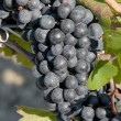 Stock Photo: Gamay