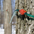 Постер, плакат: Modern way of collecting maple tree sap for making maple syrup and other maple sugar products