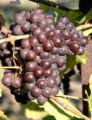 Pinot Gris, Grigio Grapes — Stock Photo